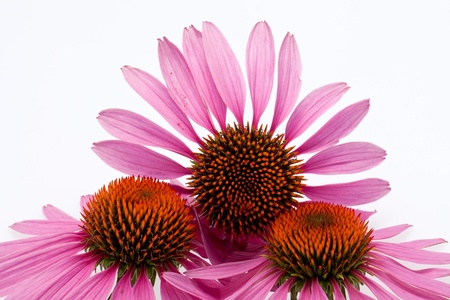 Pink coneflower head, isolated on white background Stock Photo - 14550016
