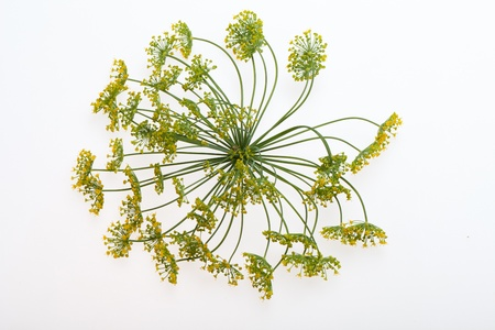 Fresh dill close up on white background photo