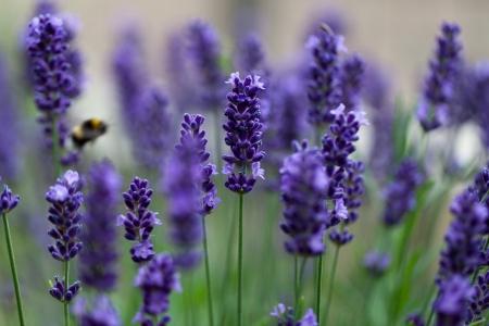 essential oil: lavender flowers