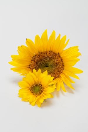 Sunflowers   isolated on white background photo