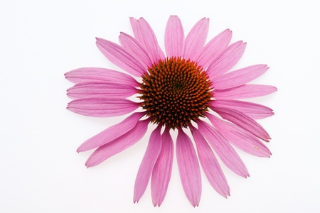 Pink coneflower head, isolated on white background Stock Photo - 14719629