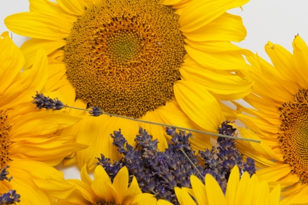 Sunflowers and Lavender  isolated on white background Stock Photo - 14719728