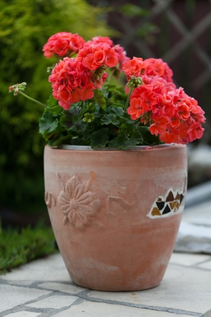 Red garden geranium flowers photo