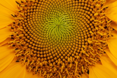 Middle of Sunflower Close-Up  photo