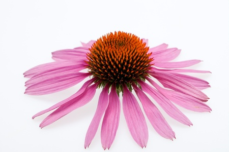 Pink coneflower head, isolated on white background Stock Photo - 15045047