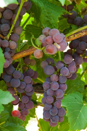 viniculture: pink grapes in the vineyard