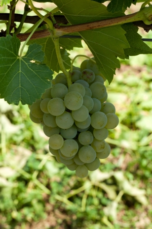viniculture: White grapes in the vineyard