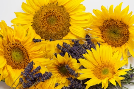 Sunflowers and Lavender  isolated on white background photo