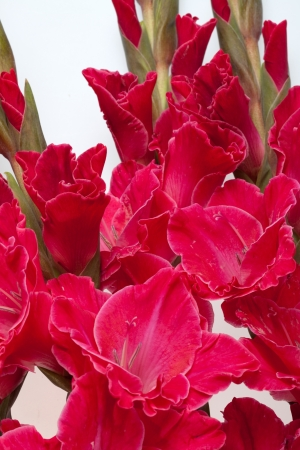 Red gladiolus isolated on white  photo