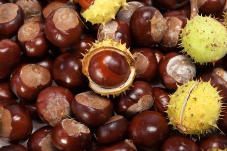 buckeye seed: ripe chestnuts