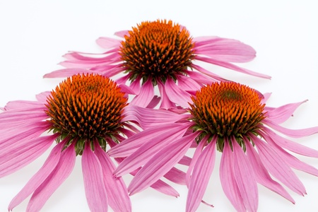 Pink coneflower head, isolated on white background Stock Photo - 15444610