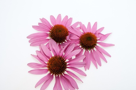 Pink coneflower head, isolated on white background Stock Photo - 15444596