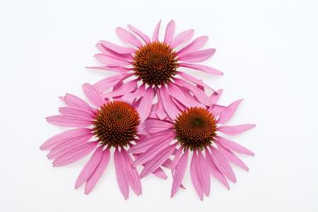 흰색 배경에 고립 된 핑크의 coneflower 머리,