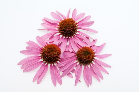 Pink coneflower head, isolated on white background photo