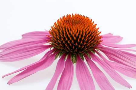 Pink coneflower head, isolated on white background Stock Photo - 15564285