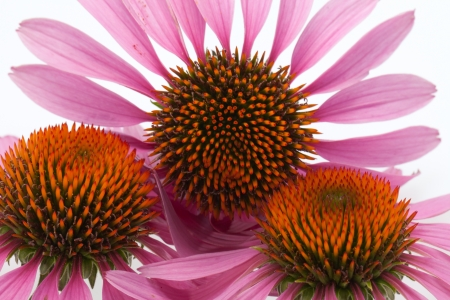 Pink coneflower head, isolated on white background Stock Photo - 15680515
