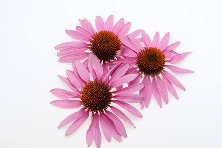 Pink coneflower head, isolated on white background Stock Photo - 16475701