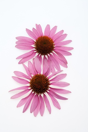 Pink coneflower head, isolated on white background Stock Photo - 16891718