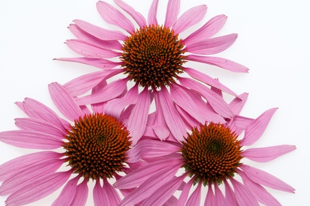 Pink coneflower head, isolated on white background Stock Photo - 16891765