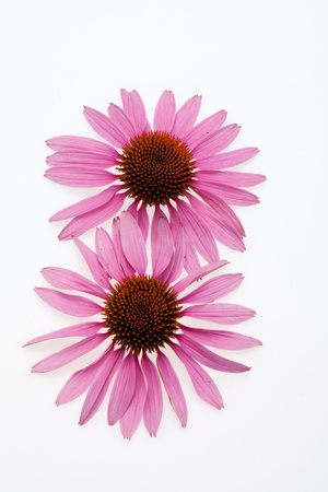 Pink coneflower head, isolated on white background Stock Photo - 16891720