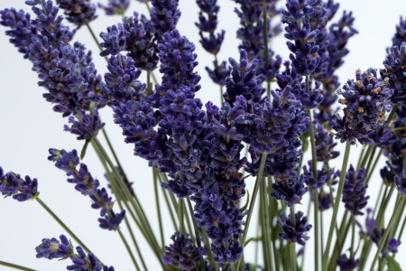 Lavender  isolated on white background Stock Photo - 16891779