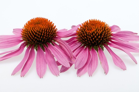 Pink coneflower head, isolated on white background Stock Photo - 16971608