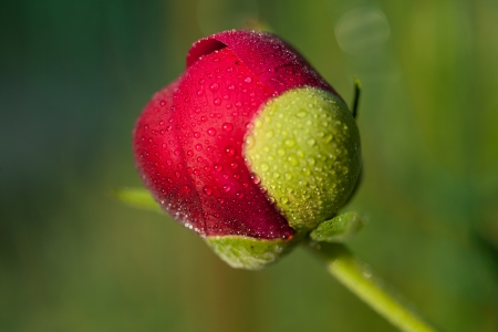 bud of peony flower after rain photo