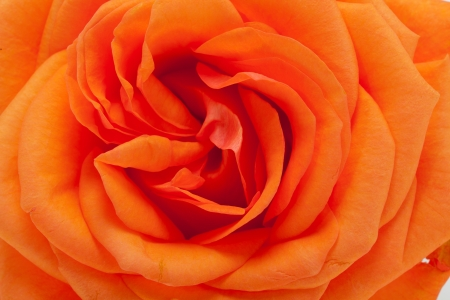 orange single rose isolated on white background photo