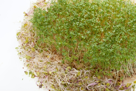 Fresh alfalfa sprouts and cress on white background  photo