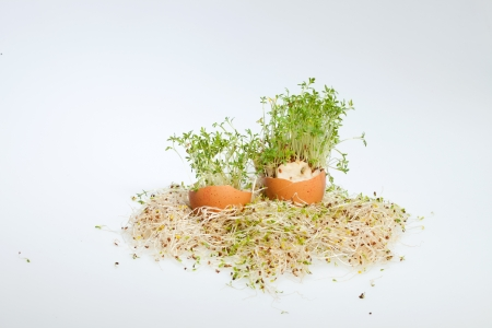 Fresh Alfalfa Sprouts and Spring Easter Egg photo
