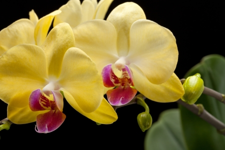 Yellow orchid isolated on black  background photo