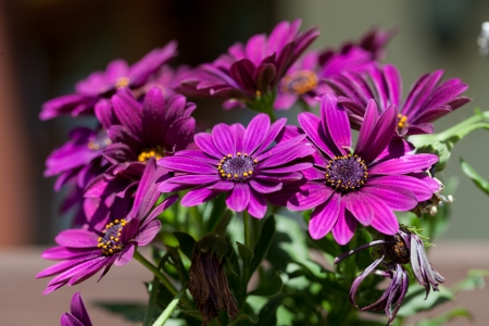 Violet Pink Osteosperumum Flower Daisy  photo