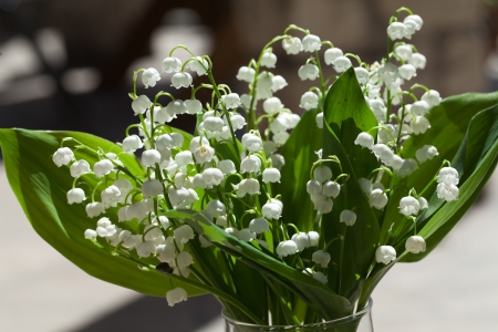Blooming Lily of the valley  photo
