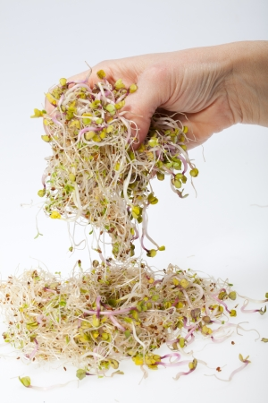 Fresh alfalfa sprouts isolated on white background  photo