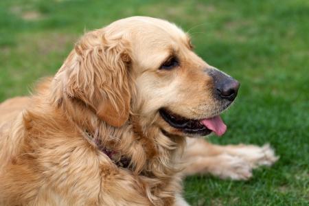 labrador teeth: portrait of beautiful golden retriever  Stock Photo