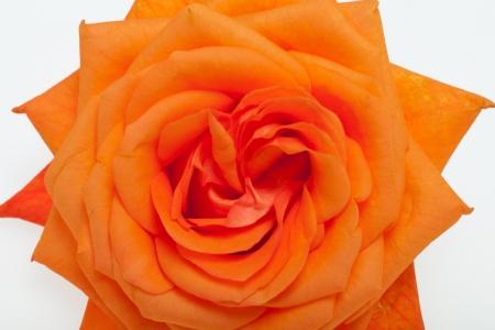 anniversary sexy: orange single rose isolated on white background