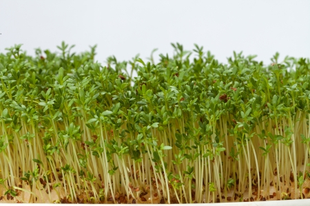 Cress seedlings isolated on white background photo