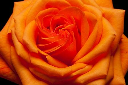Close up image of single orange rose  photo