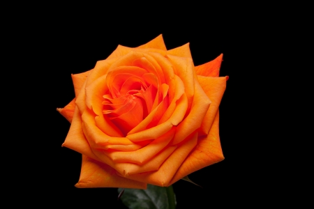 Close up image of single orange rose  photo