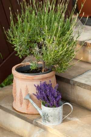 Lavender in Watering Can photo
