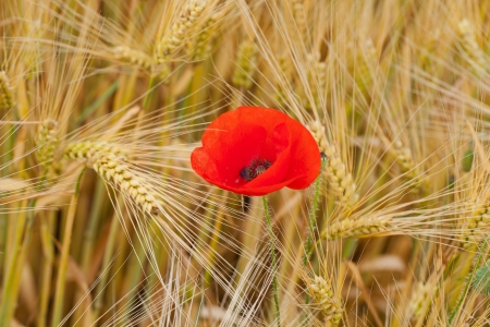 red poppies on the corn-field Stock Photo - 21733628