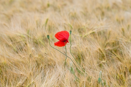 red poppies on the corn-field Stock Photo - 21733649