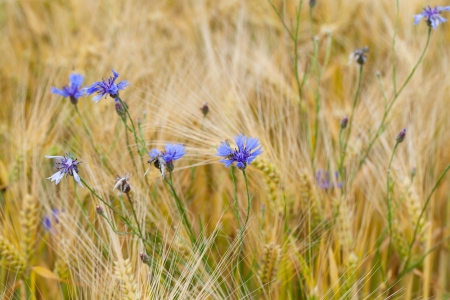 blue bluebottles on the corn-field photo