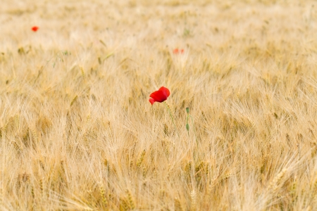 red poppies on the corn-field Stock Photo - 21916035