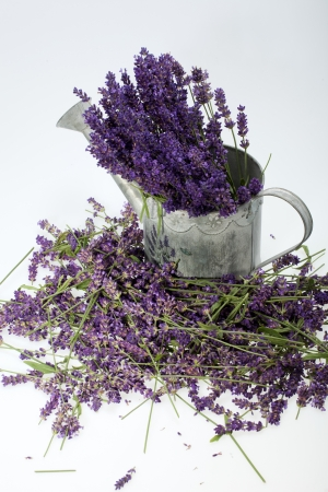 Watering Can and Lavender isolated on white photo
