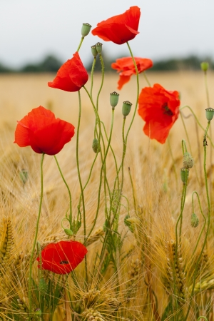 red poppies on the corn-field Stock Photo - 22001997