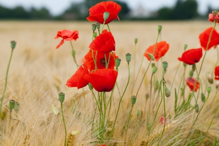 red poppies on the corn-field Stock Photo - 22253845