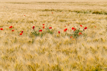 red poppies on the corn-field Stock Photo - 22253846
