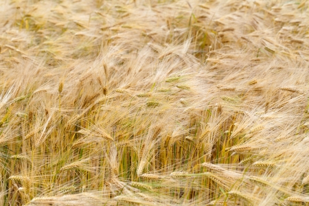cornfield: The Field of the ripe cereal Stock Photo