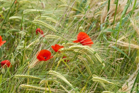 red poppies on the corn-field photo